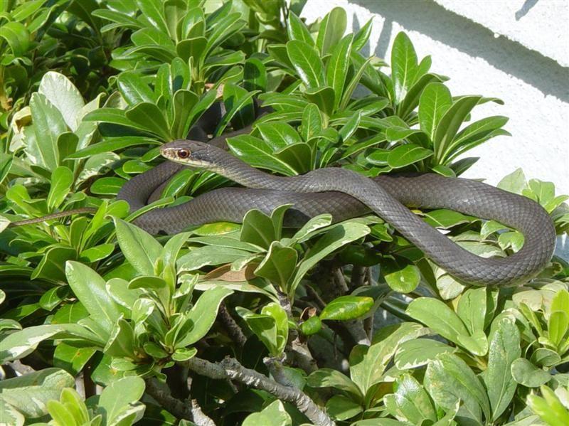 ثعبان راسرة جنوبية سوداء Coluber-constrictor-
