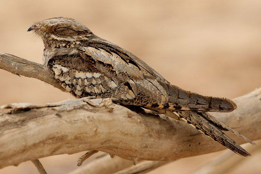 طائر السبد الاوروبي European-Nightjar-from-the-Crossley
