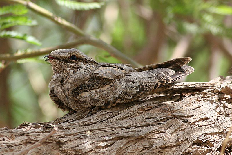 European Nightjar..