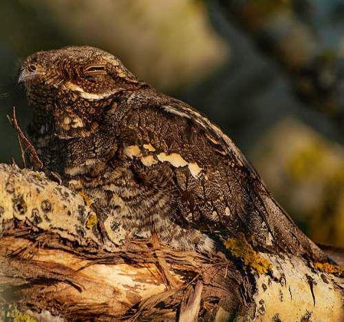 طائر السبد الاوروبي European-Nightjar