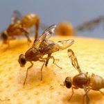 كيفية التخلص من الهاموش ( ذبابة الفاكهة )