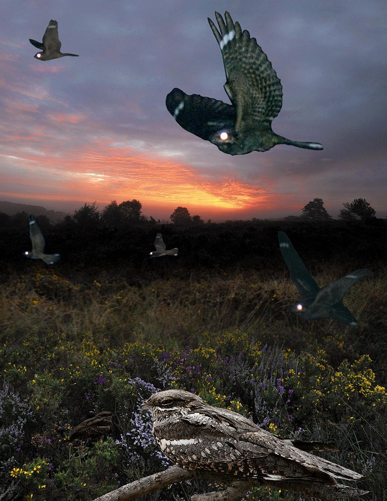 طائر السبد الاوروبي Image-of-European-nightjar