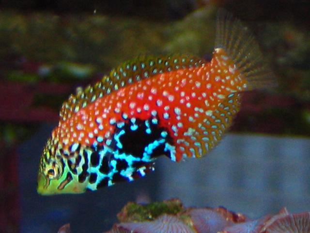 معلومات عن سمك اللبروس Melanurus-Wrasse.jpg