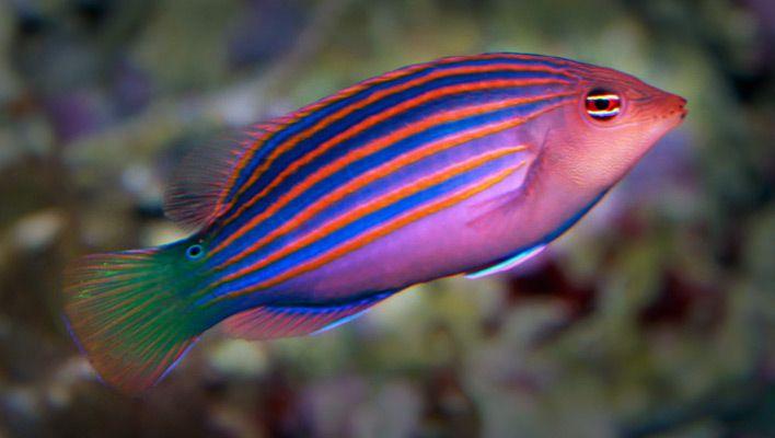 معلومات عن سمك اللبروس National-Aquarium.jp