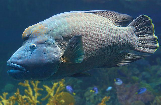 معلومات عن سمك اللبروس Reef-Wrasse.jpg