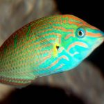 The Psychedelic Sixline Wrasse - 472331