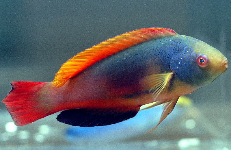 معلومات عن سمك اللبروس Wrasse-Wallpaper.jpg