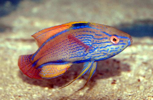 معلومات عن سمك اللبروس Wrasse-can-survive-3