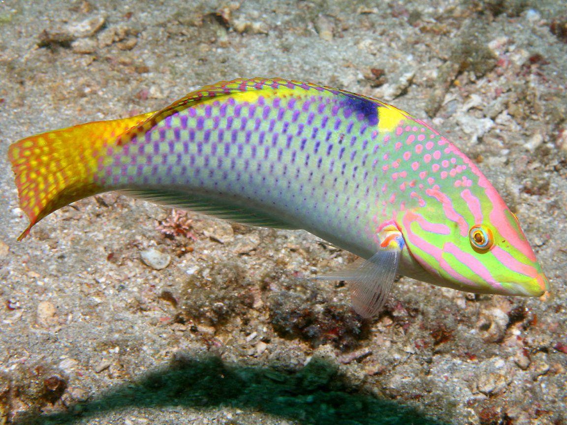 معلومات عن سمك اللبروس Wrasse.jpg