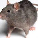 طريقة التخلص من الفئران نهائيا