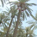 الكنز الأخضر في سلطنة عمان