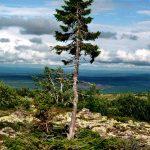 تجيكو أقدم شجرة في العالم