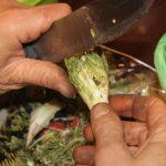 كيفية طبخ نبات العكوب