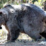 الدببة الرمادية في ولاية قارص لتشجيع السياحة الصيفية لتركيا