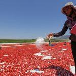 طريقة عمل مشروع تجفيف الطماطم