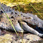التمساح الأسود من أخطر الكائنات الحية على وجه الأرض