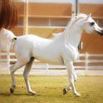 بحث عن صفات الخيول العربية الأصيلة