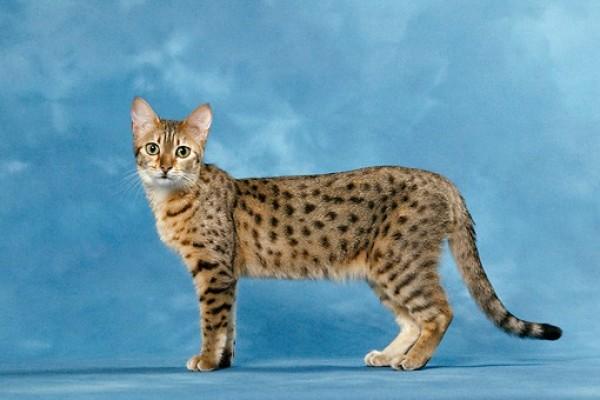 القط الفرعوني البرونزي