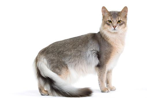 القط الفرعوني الدخاني