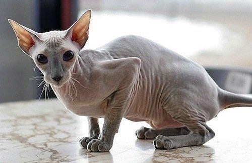 القط الفرعوني المرسال