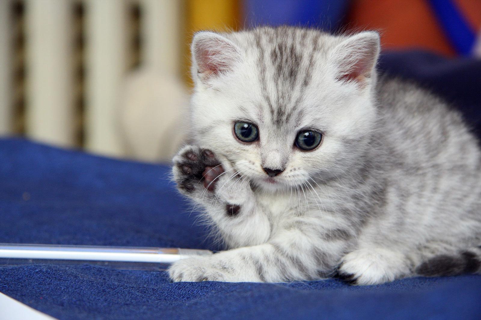 لغة القطط