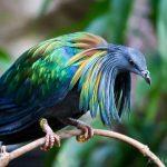 حمام نيكوبار أجمل الطيور في العالم