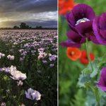 أخطر أنواع الزهور على حياة الإنسان وأجملها