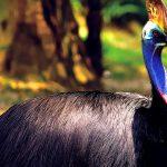 طائر الكاسواري صاحب لقب أكثر الطيور جمالاً وخطورة