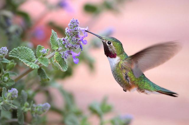 طائر النحله الطنان