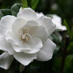 فوائد زيت زهرة الغاردينيا