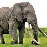 أسباب موت الأفيال