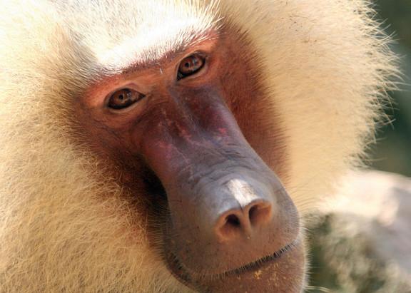 جميع انواع القرود بالصور