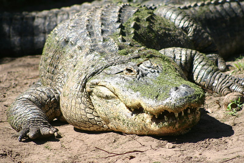 التمساح الامريكي