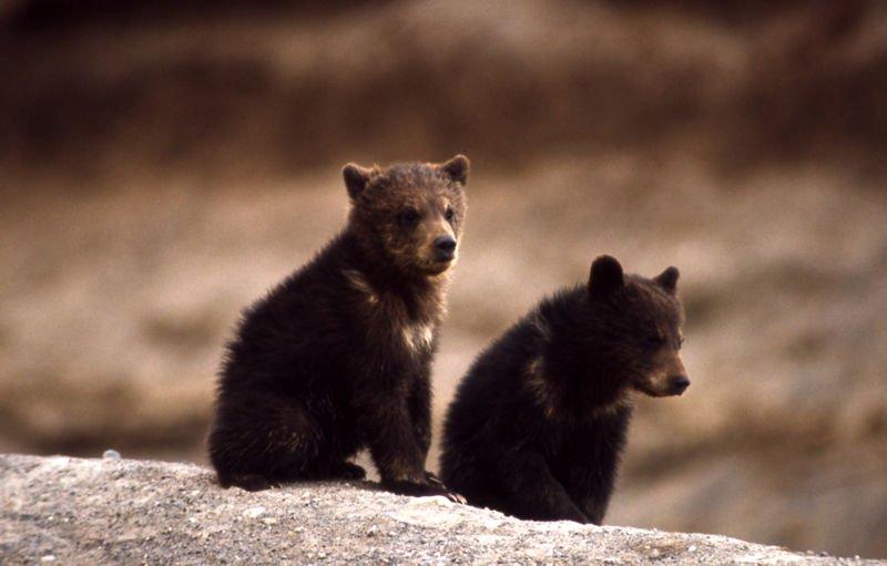 الدب الرمادي