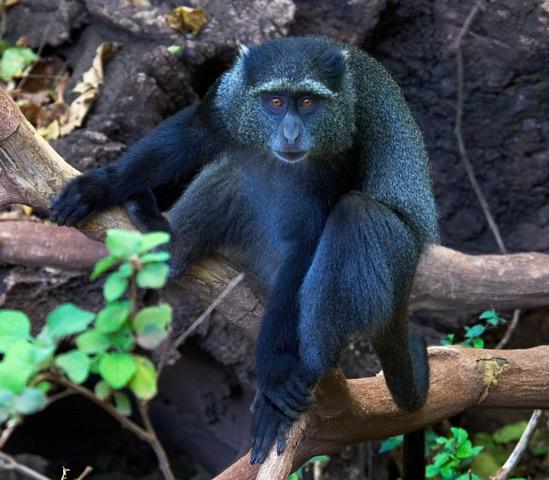 القرد الازرق