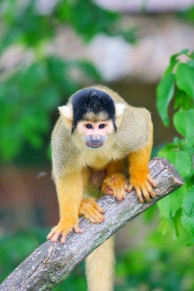 جميع انواع القرود بالصور -السنجابي