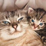 مدة حمل أنثى القطة