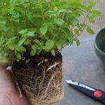 طريقة زراعة النعناع في البيت