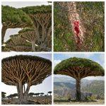 شجرة دم الأخوين لماذا سميت بهذا الاسم