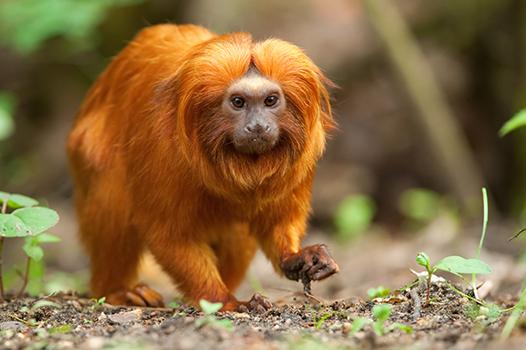 جميع انواع القرود بالصور -الأسد-الذهبي