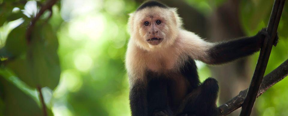جميع انواع القرود بالصور -الكابوشي