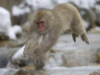 جميع انواع القرود بالصور -الماك-الياباني