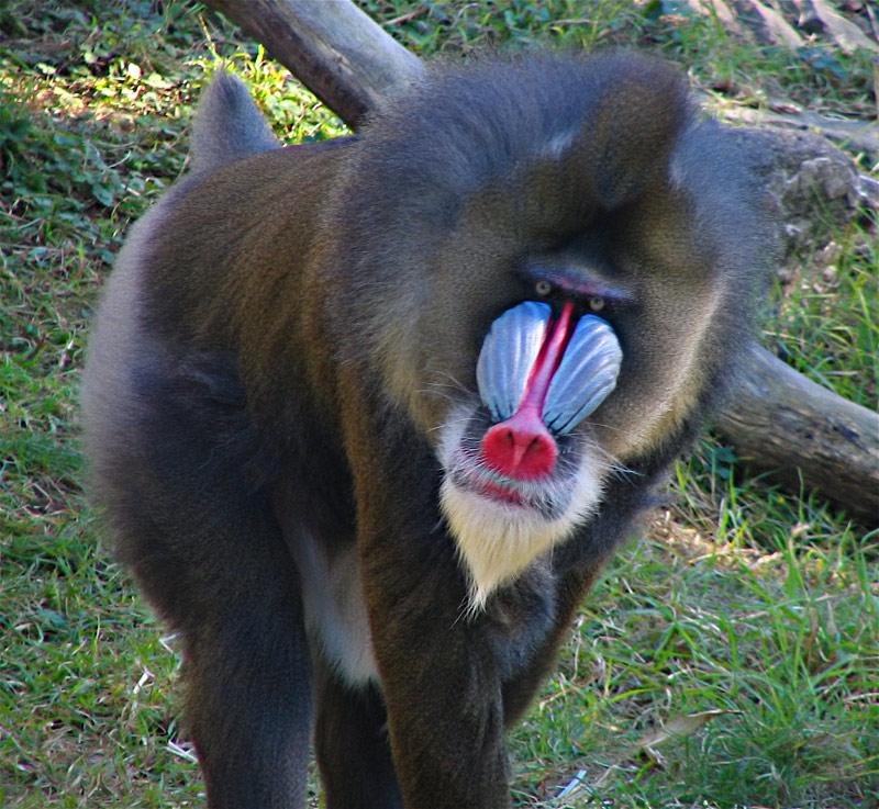 جميع انواع القرود بالصور -الماندريل