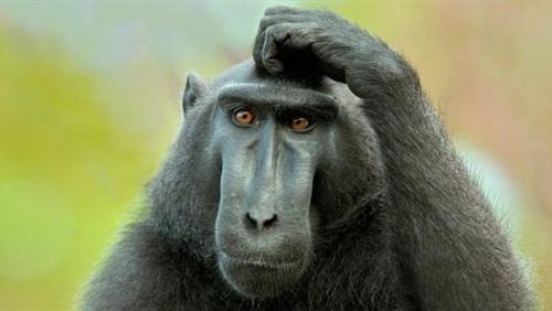 جميع انواع القرود بالصور -الماك-العادية-1