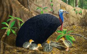 Cassowary Bird Wallpaper طائر الشبنم