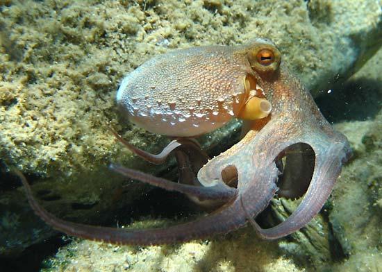 حيوان مائي رخويات الأرجل