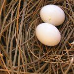 معلومات عن مدة فقس بيض الحمام