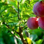 شجرة الأربعين فاكهة العجيبة