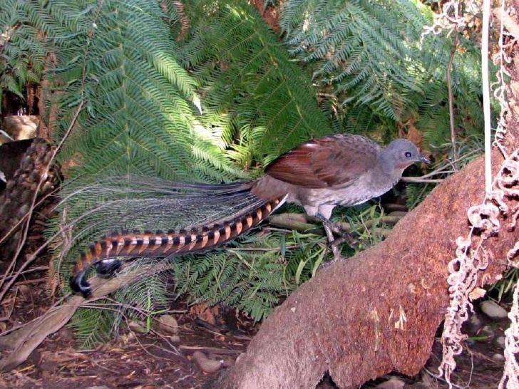 قدرات طائر القيثارة