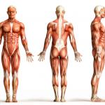 اقوى و اضعف عضلة في جسم الانسان
